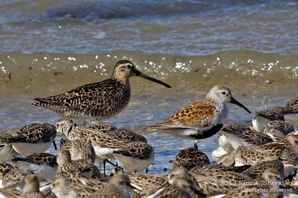 1 Fortescue Dunlin Dowitcher_9870 a