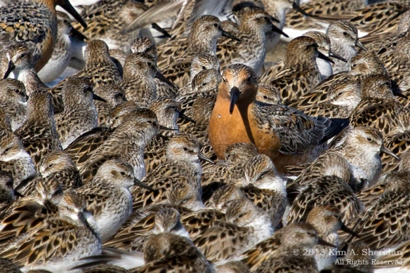 1 Fortescue Red Knot_9864 a