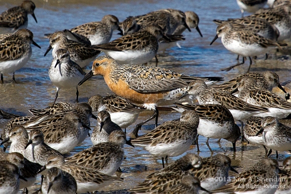 1 Fortescue Red Knot_9878 a