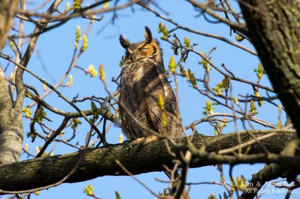 3 HNWR Owl_7782 AC