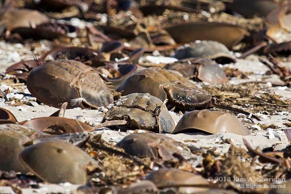 7 Reeds Beach Crabs_0651 a