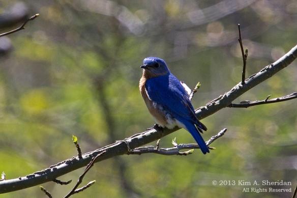 CM Point SP Bluebird_9640 a