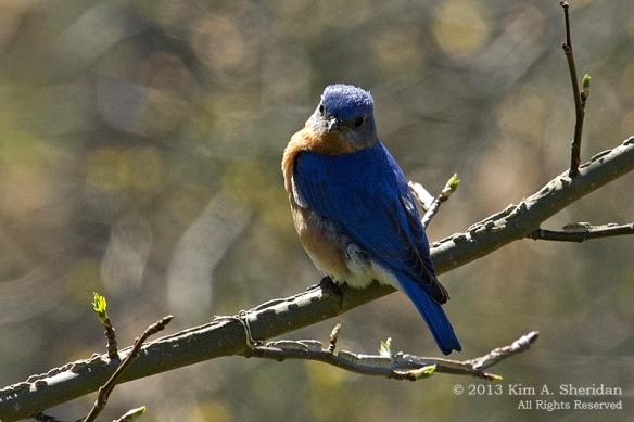 CM Point SP Bluebird_9657 a