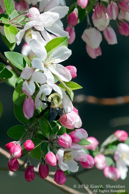 HNWR Crabapple with Bee_9584 a