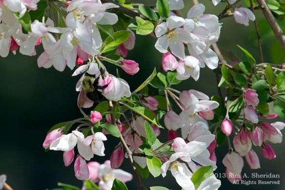 HNWR Crabapple with Bee_9593 a