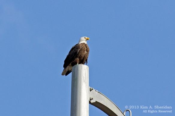 HNWR Eagle_5746 A