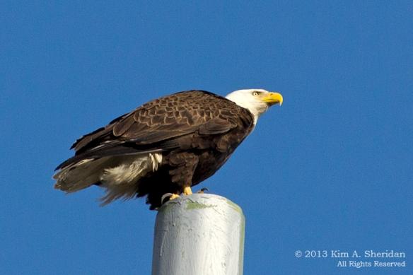 HNWR Eagle_7647 A