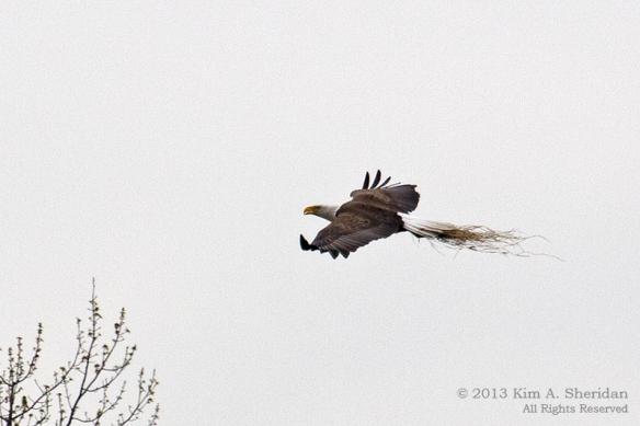 HNWR Eagle_8788 A