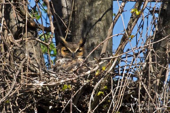 HNWR Owl_9232 A