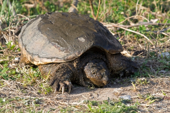 HNWR Snapper_6644 AS
