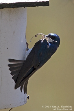 HNWR Swallow_9491 ACS