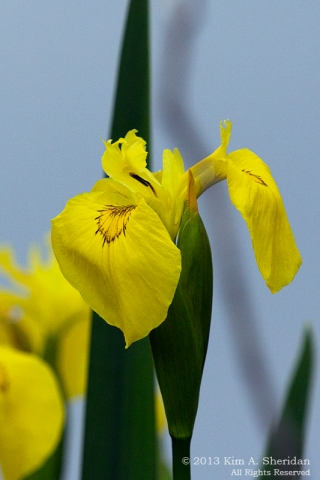 HNWR Yellow Iris_9488 a