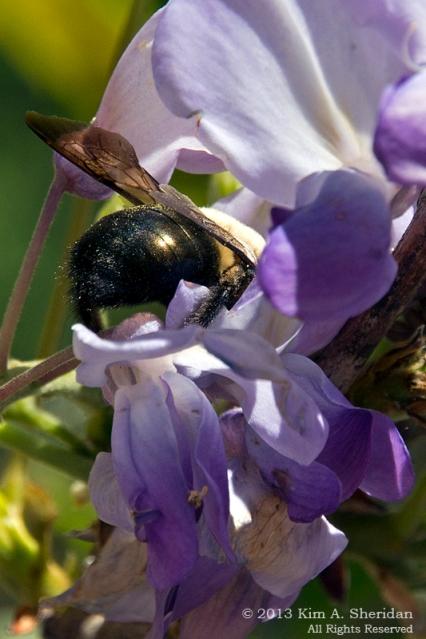 Longwood Bee_9257