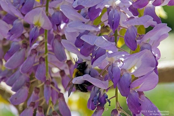 Longwood Bee_9262 a