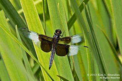 Widow Skimmer Dragonfly, Ludington State Park, Michigan