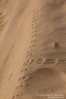 Critter tracks on sand, Ludington State Park, Michigan