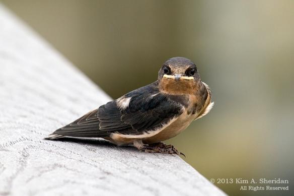 HNWR Barn Swallow_2035 a
