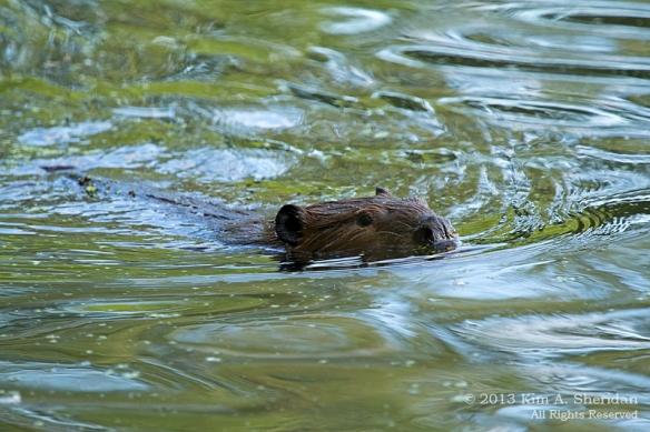 HNWR Beaver_3124 a