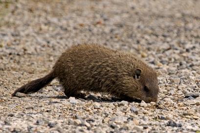 HNWR Groundhog_2990 a
