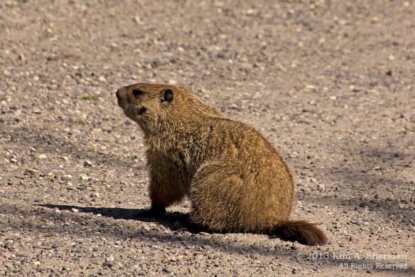 HNWR Groundhog_5585 AS