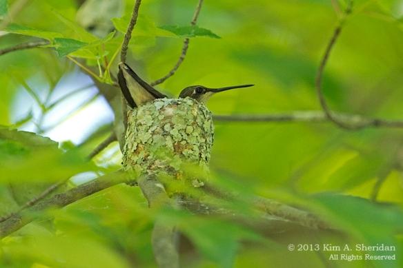 HNWR Hummingbird Nest_1344 a