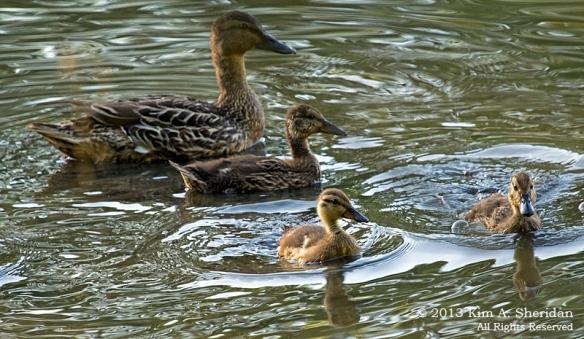 HNWR Mallard Ducklings_1794 a2