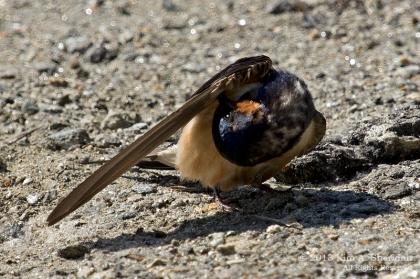 HNWR Swallow_0971 a