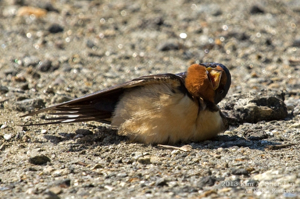 HNWR Swallow_0985 a