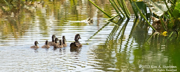 HNWR Wood Ducklings_3624 a
