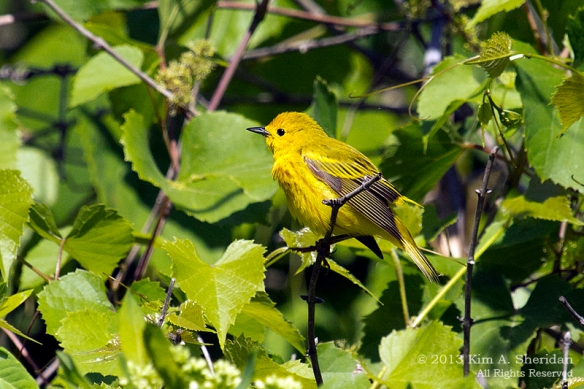 HNWR Yellow Warbler_1244 a