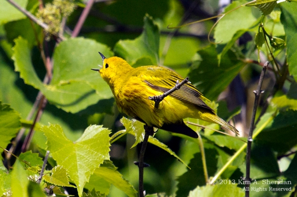 HNWR Yellow Warbler_1245 a