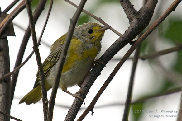 HNWR Yellow Warbler_3486 a