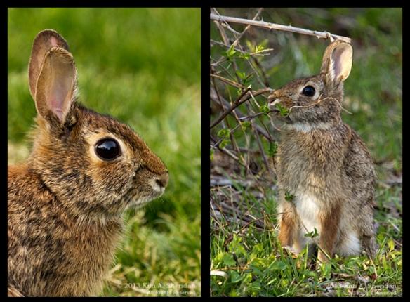 Rabbit 2 Vertical