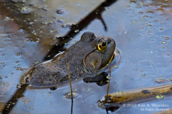HNWR Bullfrog_7722 AS