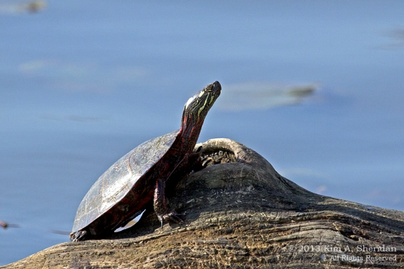 HNWR Painted Turtle_6615 a