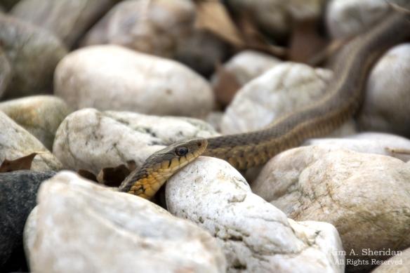 HNWR Snake_7379 ACS