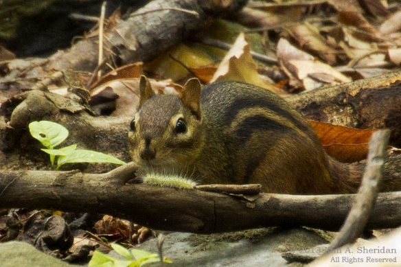 Wissahickon Valley Chipmunk_4533 acs
