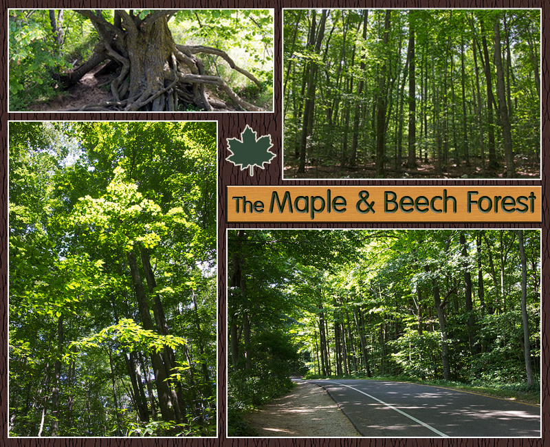 Beech Maple Forest ~ Sleeping bear dunes the scenic drive wild edge