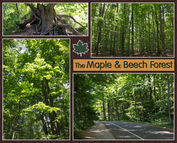 07 Beech Maple Collage a