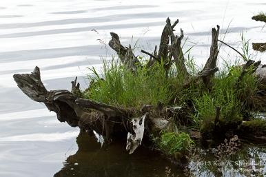MI LSP Lost Lake-Island Trail Flower Tree_6175 a