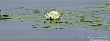 MI LSP Lost Lake-Island Trail Flower Tree_6467 a