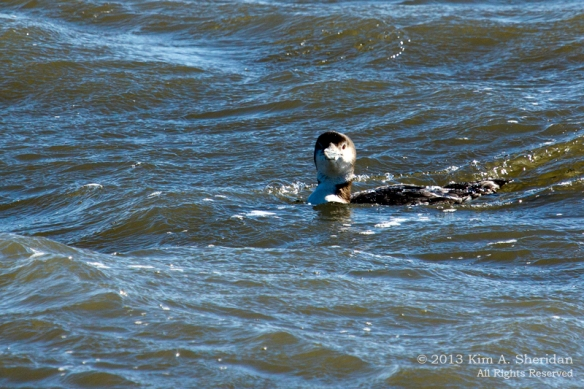 Barnegat Loon_0331 ACS