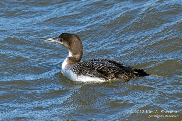 Barnegat Loon_0924 ACS