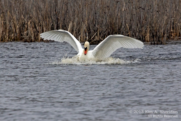 Cape May SP Swan_1425 ACS