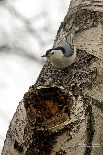 Feeder Birds_8392 ACS