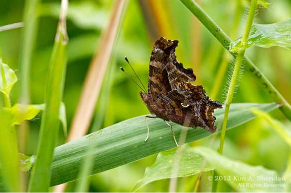 HNWR BF-Comma_1555a