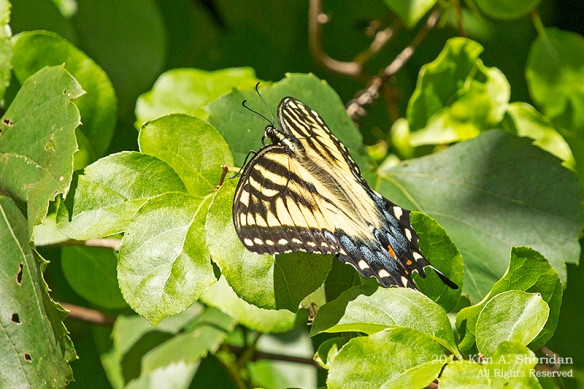 HNWR BF-ET Swallowtail_0901a