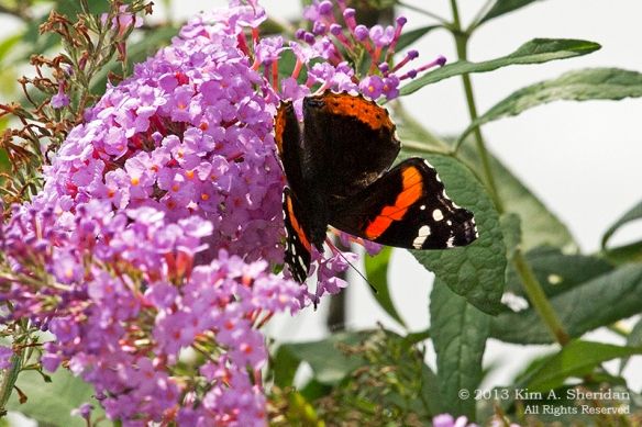 HNWR BF-Red Admiral_1779a