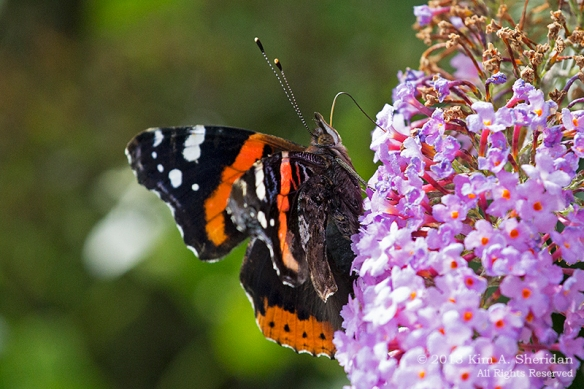 HNWR BF-Red Admiral_1831a