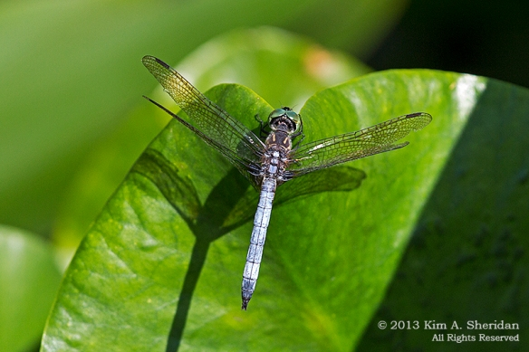 HNWR DF-Blue Dasher_0830a